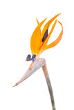 De bloem van de paradijsvogel, Strelitzia Royalty-vrije Stock Afbeeldingen