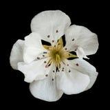 De bloem van de perenbloesem op zwarte Royalty-vrije Stock Afbeeldingen