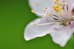 De bloem van de perzik Stock Foto's