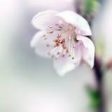 Perzik in bloei Royalty-vrije Stock Foto's
