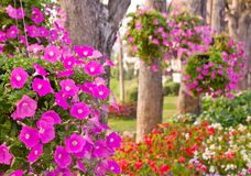 De bloem van de petunia Stock Foto's