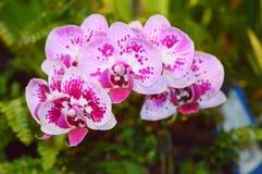 De bloem van de Phalaenopsisorchidee Stock Foto's