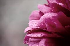 De bloem van de pioen Stock Foto