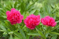 De bloem van de pioen Royalty-vrije Stock Foto's