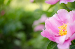 De bloem van de pioen Royalty-vrije Stock Foto