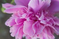 De bloem van de pioen stock afbeelding