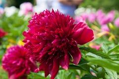 De bloem van de pioen stock fotografie