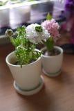 De bloem van de pioen Stock Afbeeldingen