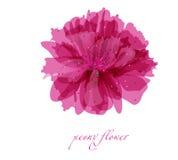De bloem van de pioen op witte achtergrond Royalty-vrije Stock Fotografie