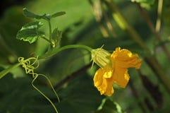 De bloem van de pompoen Stock Foto
