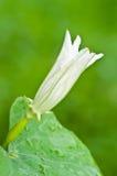 De bloem van de pompoen Stock Foto's