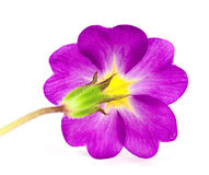 De bloem van de primula Royalty-vrije Stock Fotografie