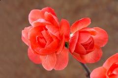 De bloem van de pruim Stock Afbeelding