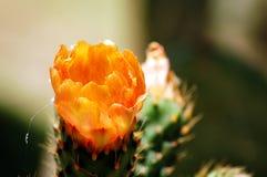 De bloem van de stekelige Peer Royalty-vrije Stock Afbeelding