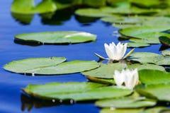De bloem van de stroomversnellinglelie in de Delta van Donau Royalty-vrije Stock Foto