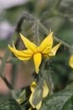 De bloem van de tomaat Royalty-vrije Stock Foto