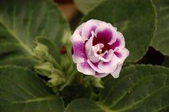 De bloem van de tuin Stock Fotografie
