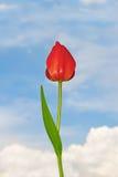 De bloem van de tulp royalty-vrije stock foto's