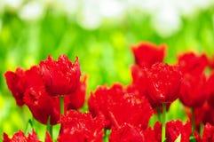 De bloem van de tulp in volledige bloei stock afbeelding