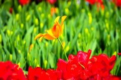 De bloem van de tulp in volledige bloei stock fotografie