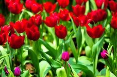 De bloem van de tulp in volledige bloei royalty-vrije stock afbeeldingen