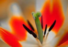 De bloem van de tulp in volledige bloei royalty-vrije stock foto