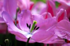 De bloem van de tulp in volledige bloei stock foto