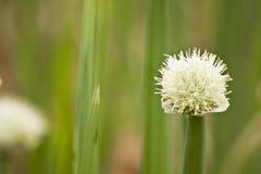De bloem van de ui Royalty-vrije Stock Fotografie