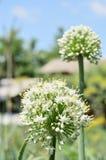 De bloem van de ui Royalty-vrije Stock Foto