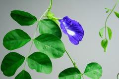 De bloem van de vlindererwt stock fotografie
