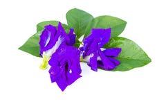 De bloem van de vlindererwt Stock Foto's