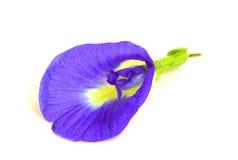 De bloem van de vlindererwt op witte achtergrond Royalty-vrije Stock Afbeeldingen