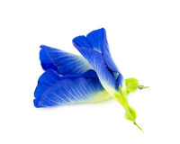 De bloem van de vlindererwt op witte achtergrond Royalty-vrije Stock Foto