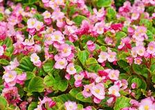 De bloem van de wasbegonia Royalty-vrije Stock Foto's