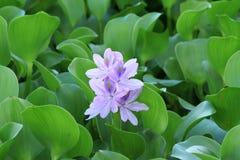 De bloem van de waterhyacint Stock Afbeeldingen