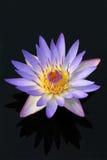 De bloem van de waterlelie Royalty-vrije Stock Foto's