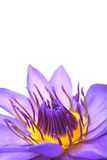 De bloem van de waterlelie op wit Royalty-vrije Stock Afbeeldingen