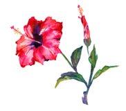 De bloem van de waterverfhibiscus Stock Afbeelding