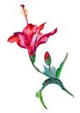 De bloem van de waterverfhibiscus Stock Afbeeldingen