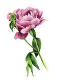 De bloem van de waterverfpioen Uitstekende bloemendieillustratie op witte achtergrond wordt geïsoleerd Hand getrokken botanische  Royalty-vrije Stock Fotografie