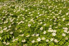 De bloem van de wind Royalty-vrije Stock Afbeeldingen