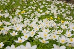 De bloem van de wind Stock Foto's