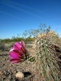 De Bloem van de woestijn Stock Foto's