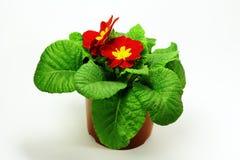 De bloem van de Zaal Royalty-vrije Stock Afbeeldingen