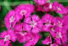 De bloem van de zigeuner Stock Afbeeldingen