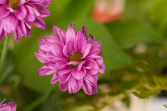 De bloem van de zomer Stock Afbeelding