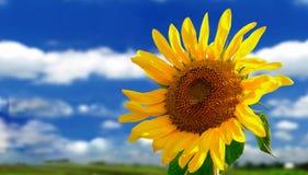 De bloem van de zon Royalty-vrije Stock Foto's