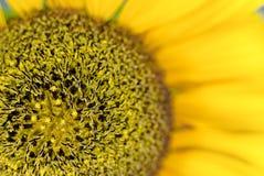 De bloem van de zon Stock Afbeeldingen