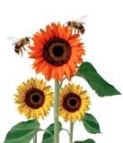 De bloem van de zon Royalty-vrije Stock Afbeeldingen