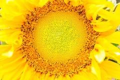 De bloem van de zon in de tuin Stock Foto's